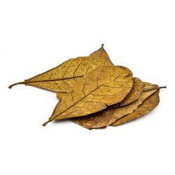 Catappa - Blätter 50 Stück